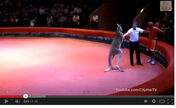 Very Funny :  Man Fighting a Professional Kangaroo Boxer
